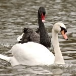 Photo of black and white swans