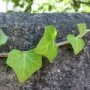 Photo of ivy leaves